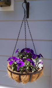 Petunias, Dusty Miller Hanging