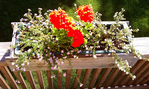 Flower Box With Geraniums