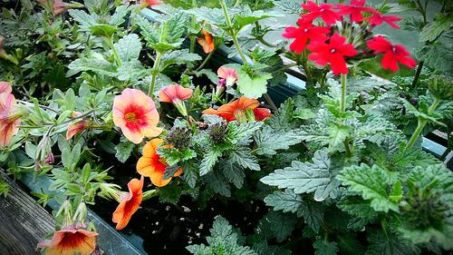 Flower Calibrachoa Verbena